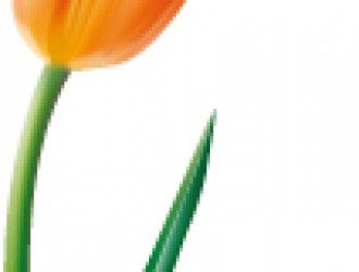 tulipano arancione – orange tulip