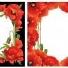 cornici con papaveri – poppies' frames