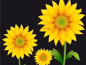 girasoli – sunflowers
