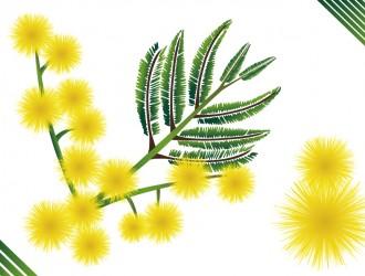 mimosa – flower
