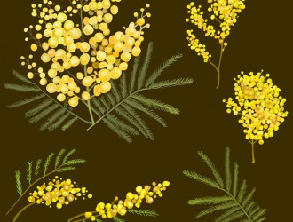 mimose – flowers_01